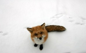 fox in show