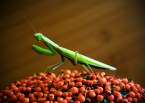 mantis wallpaper (2)