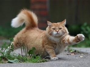 cat strut