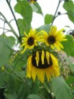 sunflower monster