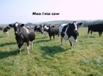 moo I'ma cow