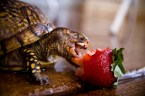 turtles love strawberries