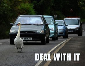 goose traffic – deal with it