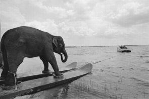 ski elephant