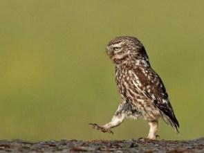 walking owl