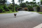 a chicken is crossing the road – WHY