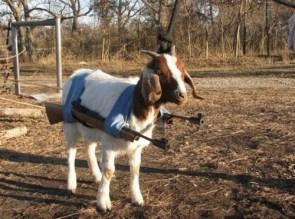 battle goat