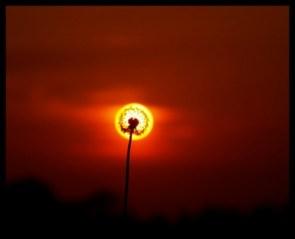 solar dandylion