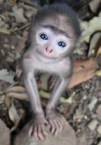 glassey eyed monkey