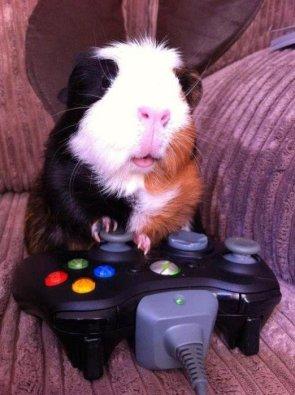 guinea pig gamer