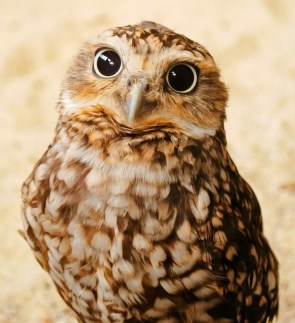 wide eyed owl
