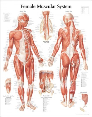 female muscular system