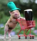 irish pig