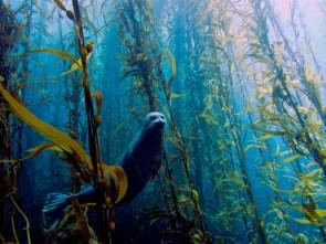 super seal in a kelp farm