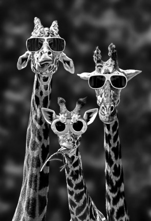 awesome giraffes