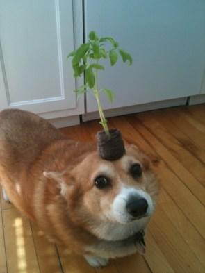 corgi plant