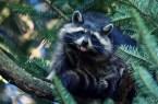 Raccoon tongue