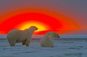 polarbears in the sun