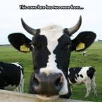 this cow has three faces