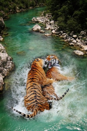 tiger mating