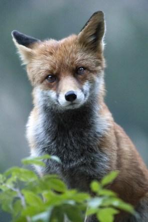 stare fox