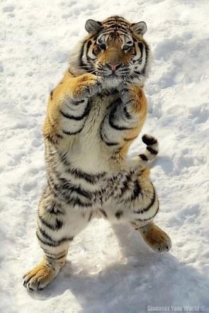 boxing snow tiger