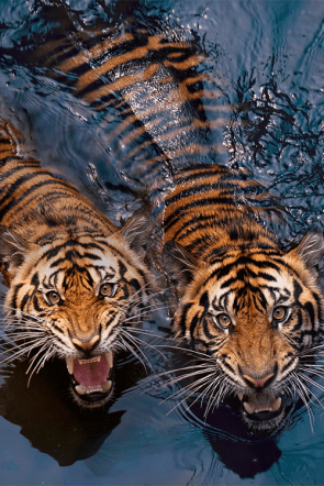 hungry tigers