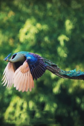 PeaCock flies