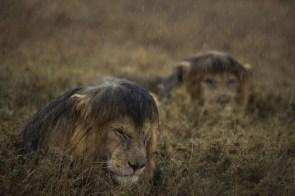 wet lions
