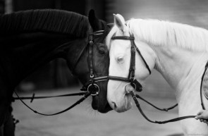 white and black horses