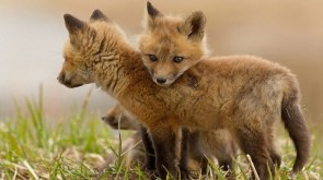 fox puppies