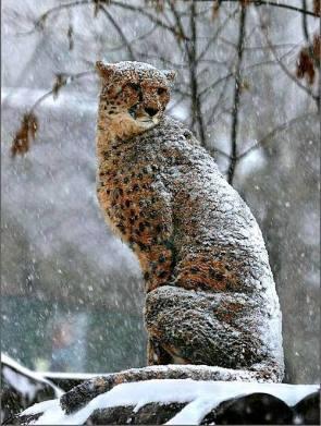 cheeta in snow