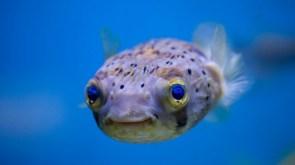 happy puffer fish