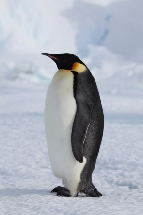 majestic fat penguinn