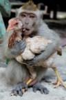 Chicken loving monkey