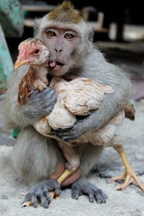 Chicken loving monkey