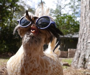Chicken with sunglasses