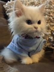 Cute Kitten in a shirt