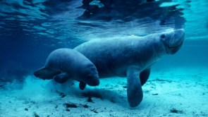 West Indian manatees in the Crystal River, Florida by Daniel J. CoxCorbis