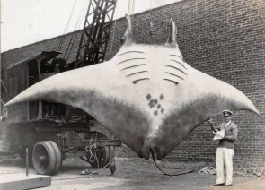 a very large ray