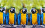 5 Blue-and-yellow Macaws