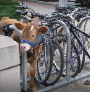 Cow Parking