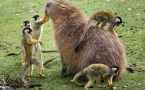 Monkey petting Capybara