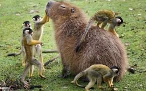 Monkey petting Capybara