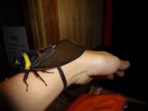 A Malaysian cicada.