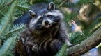 Silly Racoon