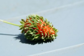 Sprouting Strawberry