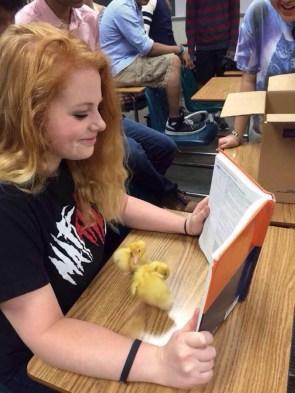 class chicken chicks