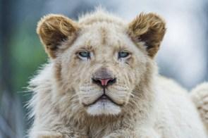 Bored Lion