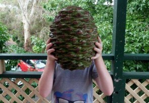 a large pine cone